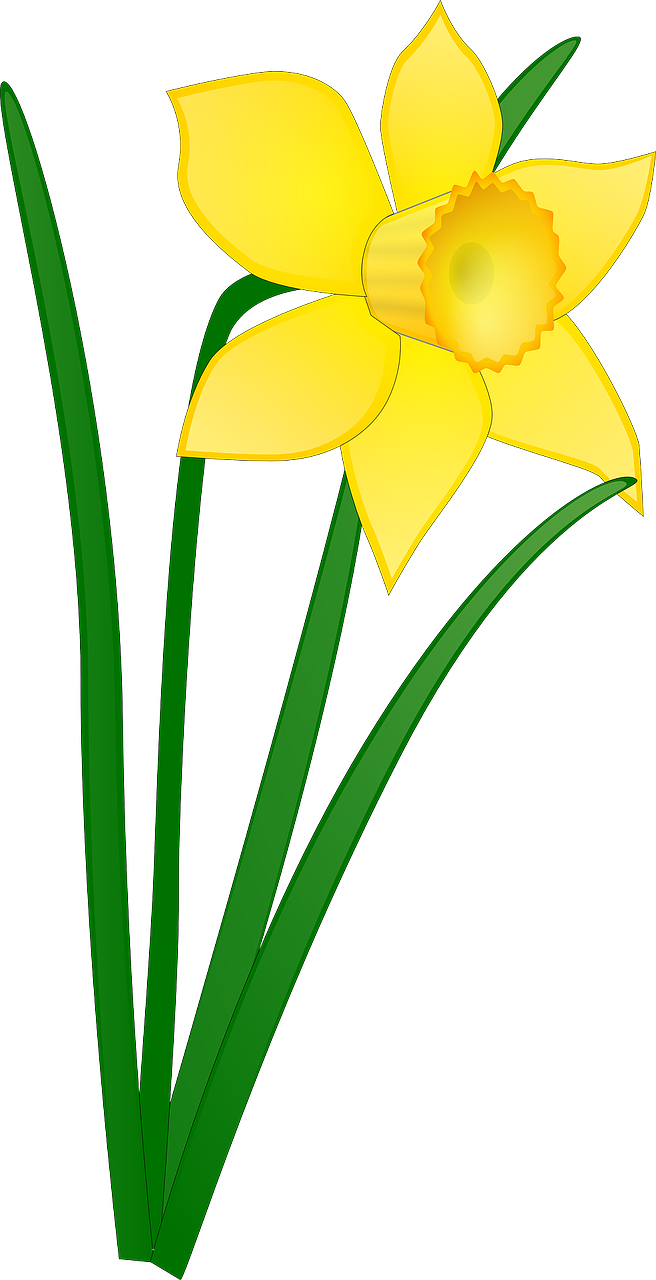 daffodil yellow flower free photo