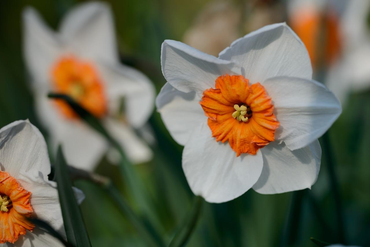 Daffodilsnarcissusdaffodilspringflower Free Photo From Needpix