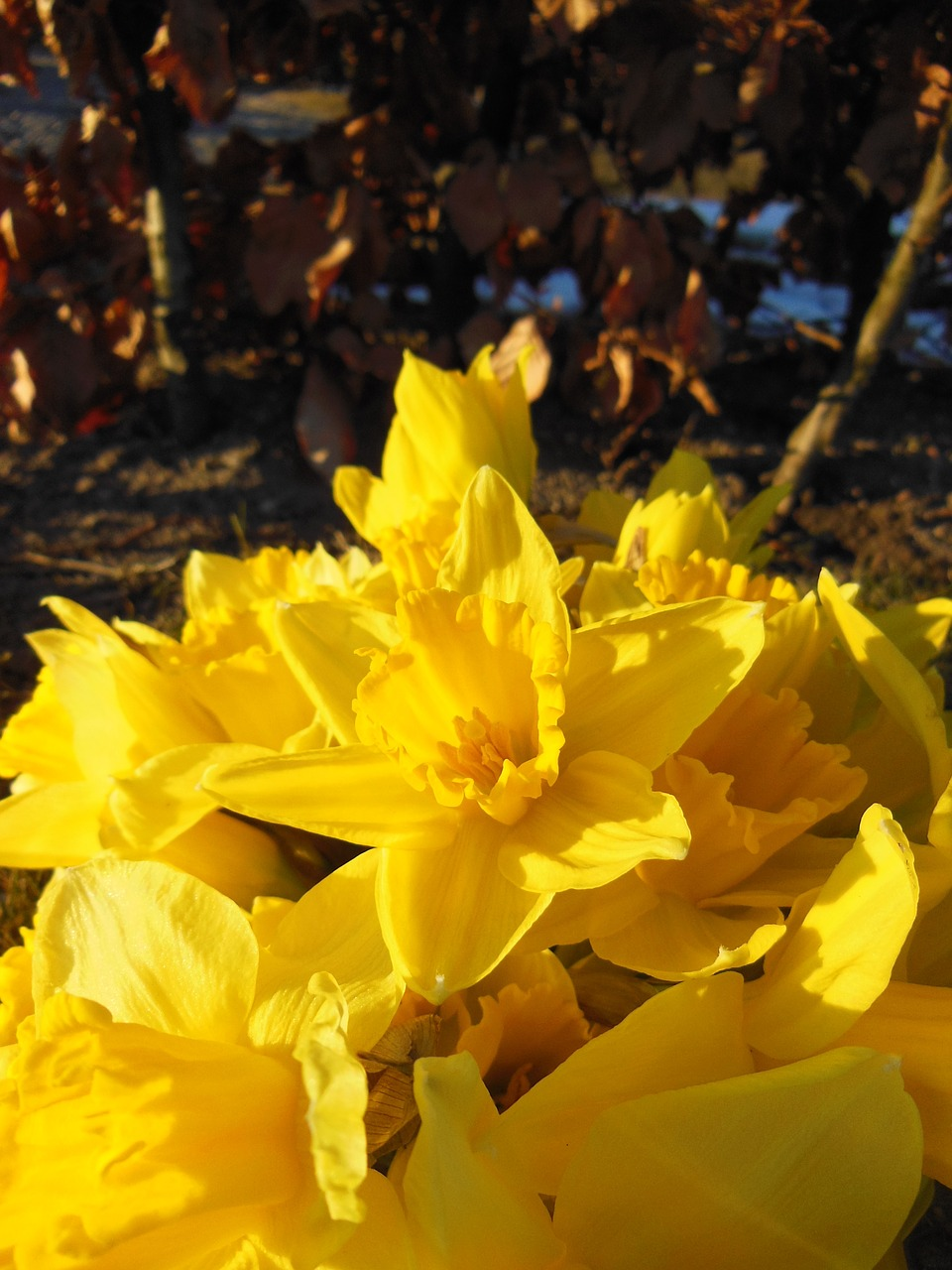 daffodils close-up harbingers of spring free photo