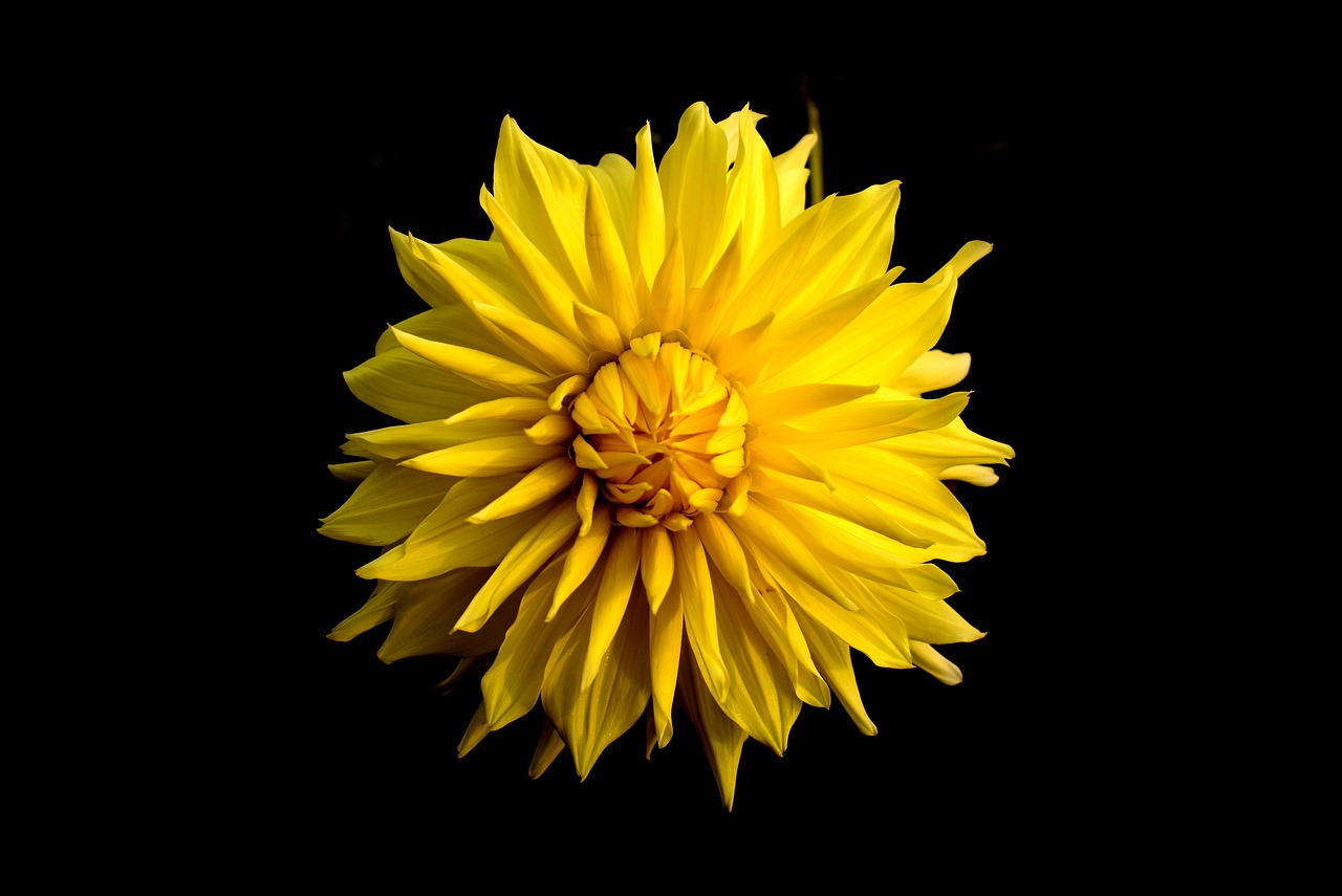 Dahliafloweryellowblack backgroundnature free photo from dahliafloweryellowblack backgroundnaturegardensinglefree mightylinksfo