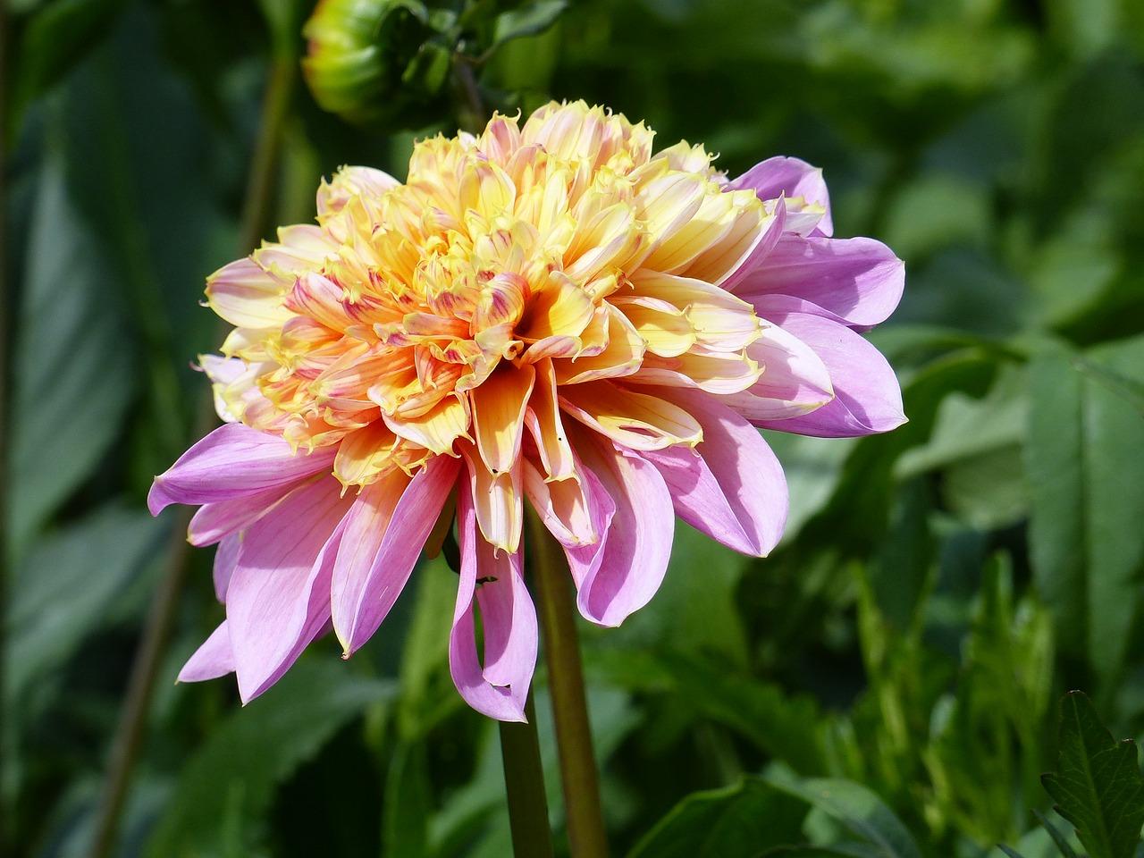 Dahliaflowerplantcolorssummer Free Photo From Needpix