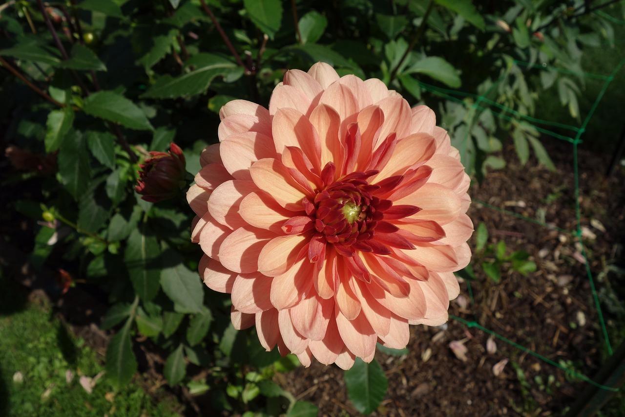 Dahlianatureflowergarden Free Photo From Needpix