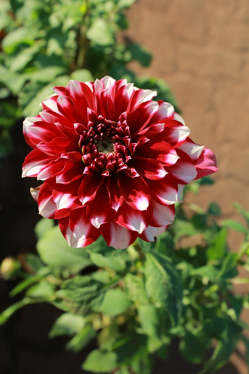 dahlia bloom flower free picture
