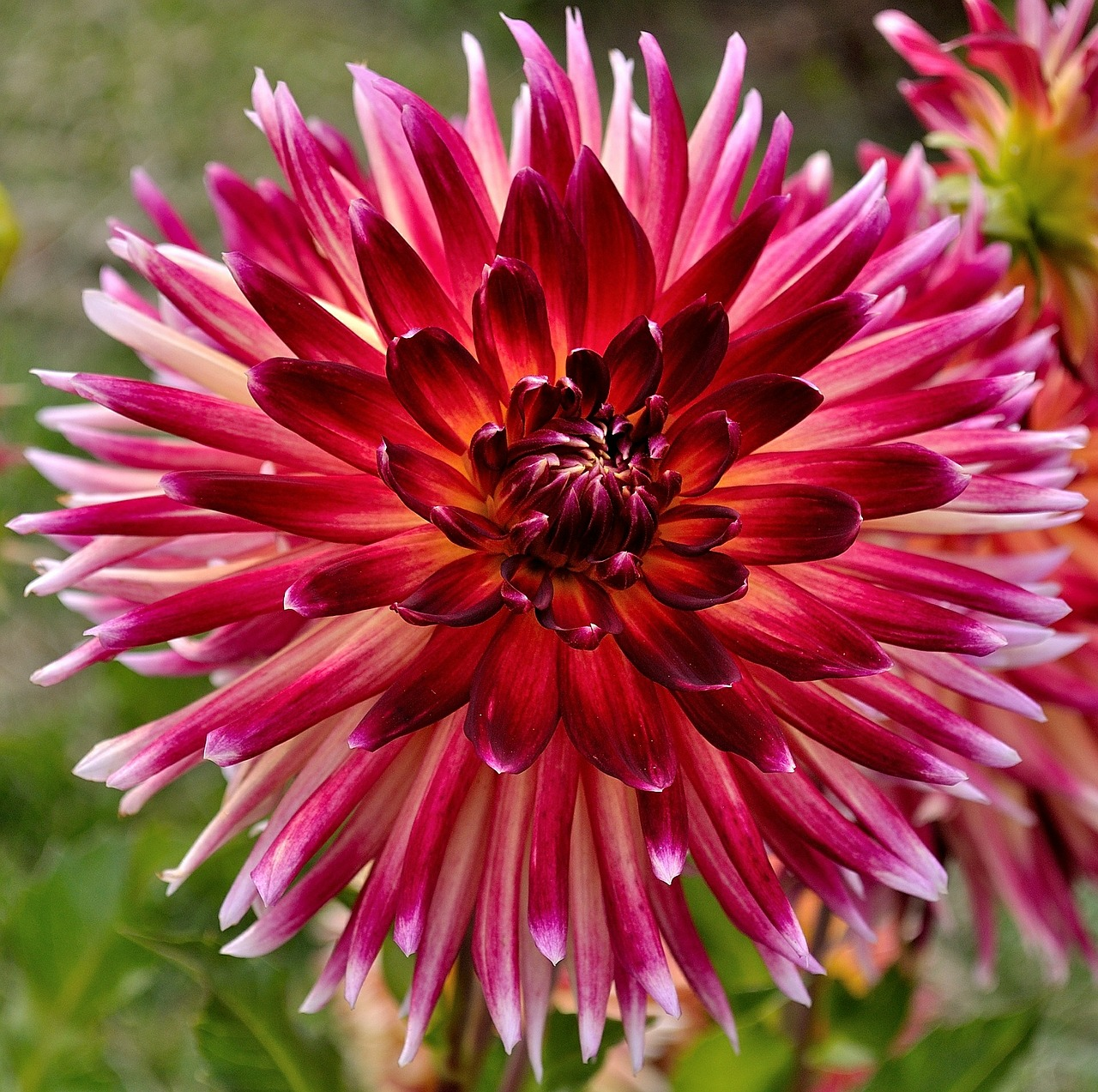 dahlia red white free picture