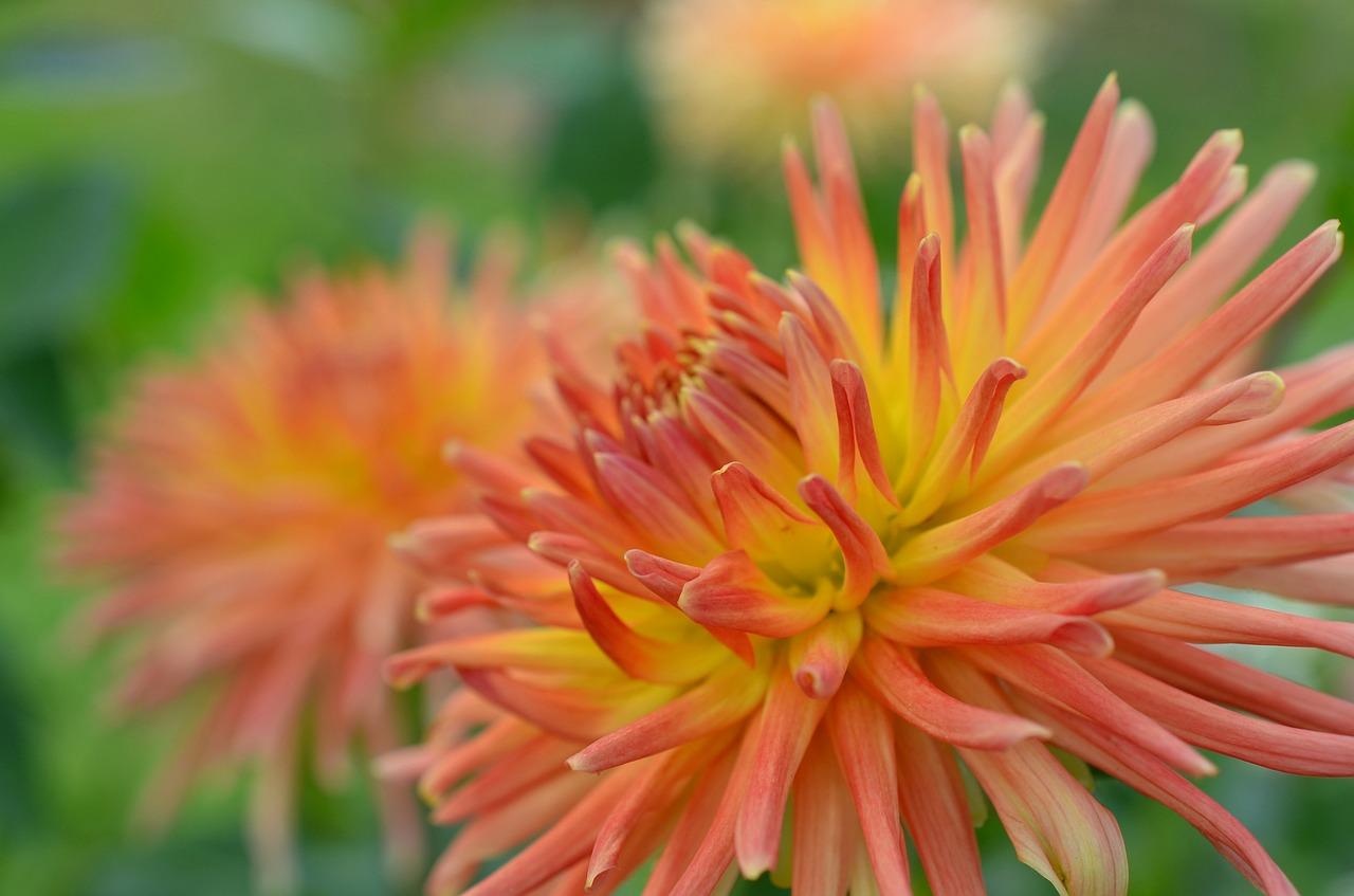 Dahliaflower Gardenorangeflowerblossom Free Photo From Needpix
