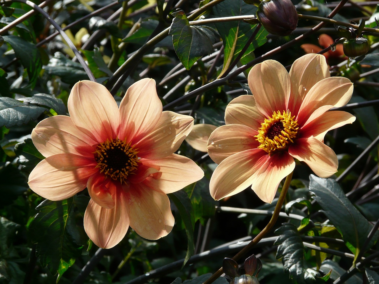 dahlia garden orange reddish free photo