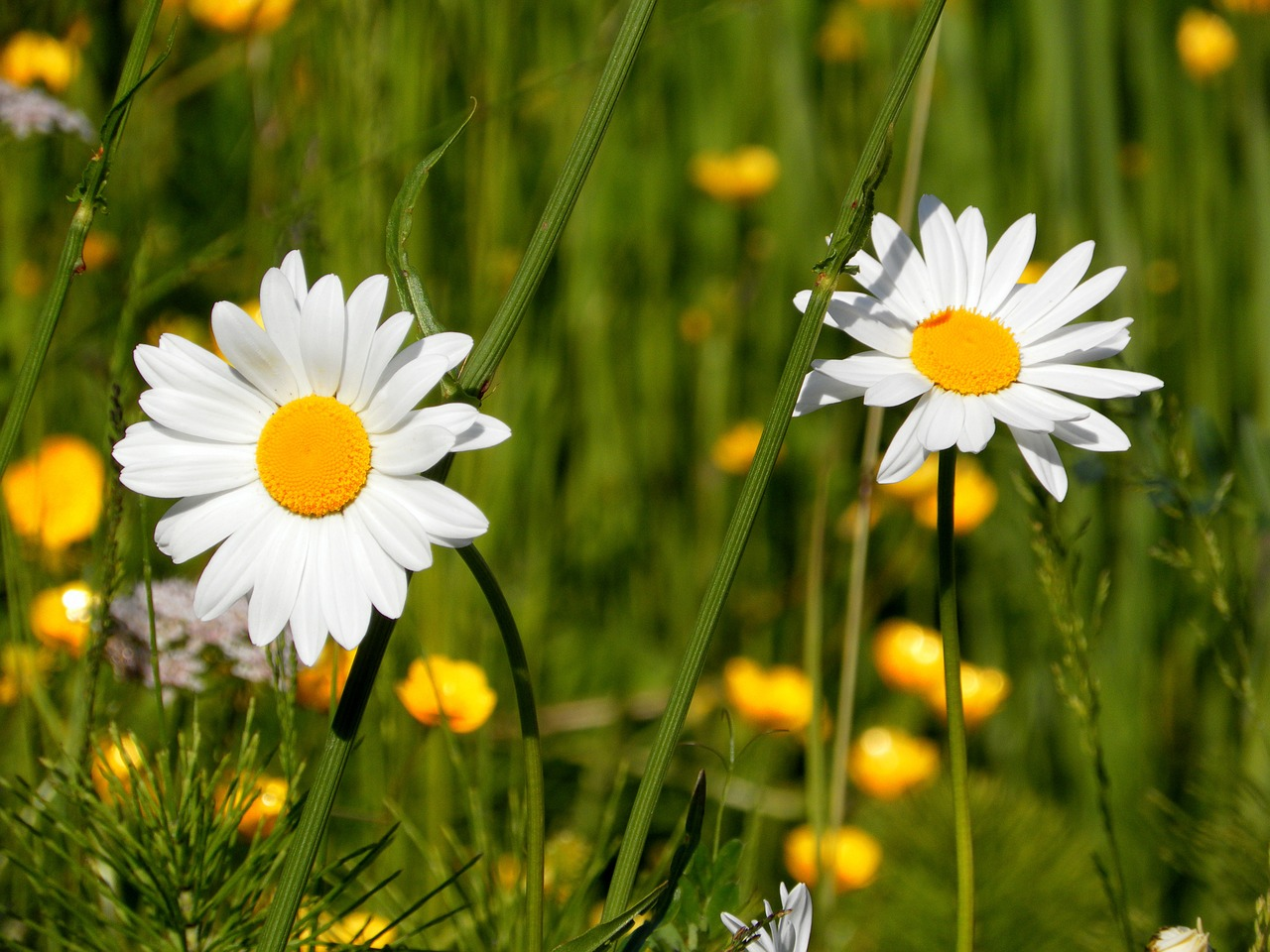 daisies flowers field free photo