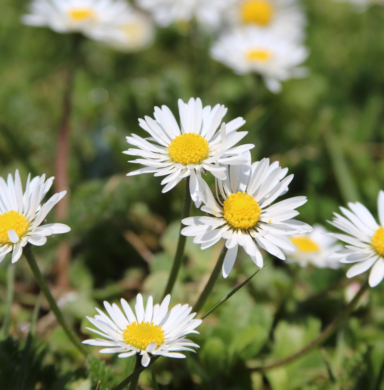 Daisiesflowergrass free photo from needpix daisies flower grass izmirmasajfo