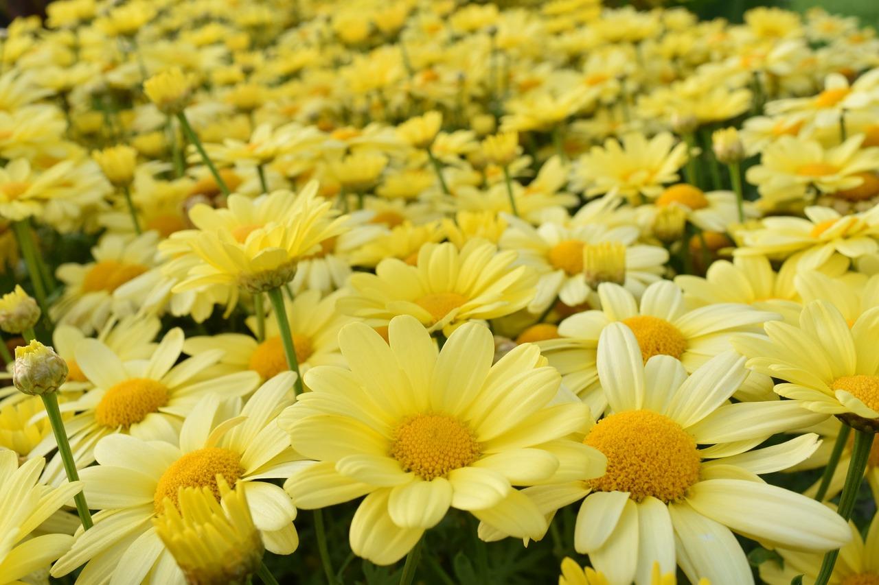 Daisiesyellowyellow daisiesflower meadowdaisy field free photo daisiesyellowyellow daisiesflower meadowdaisy fieldsummerbeautiful izmirmasajfo