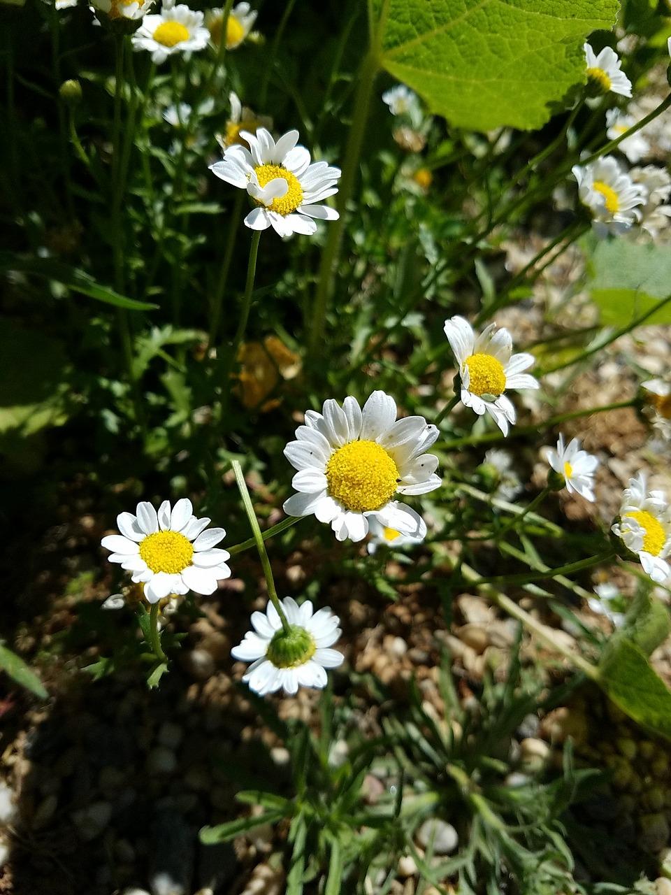 Daisiesflowersyellowbrightnature Free Photo From Needpix