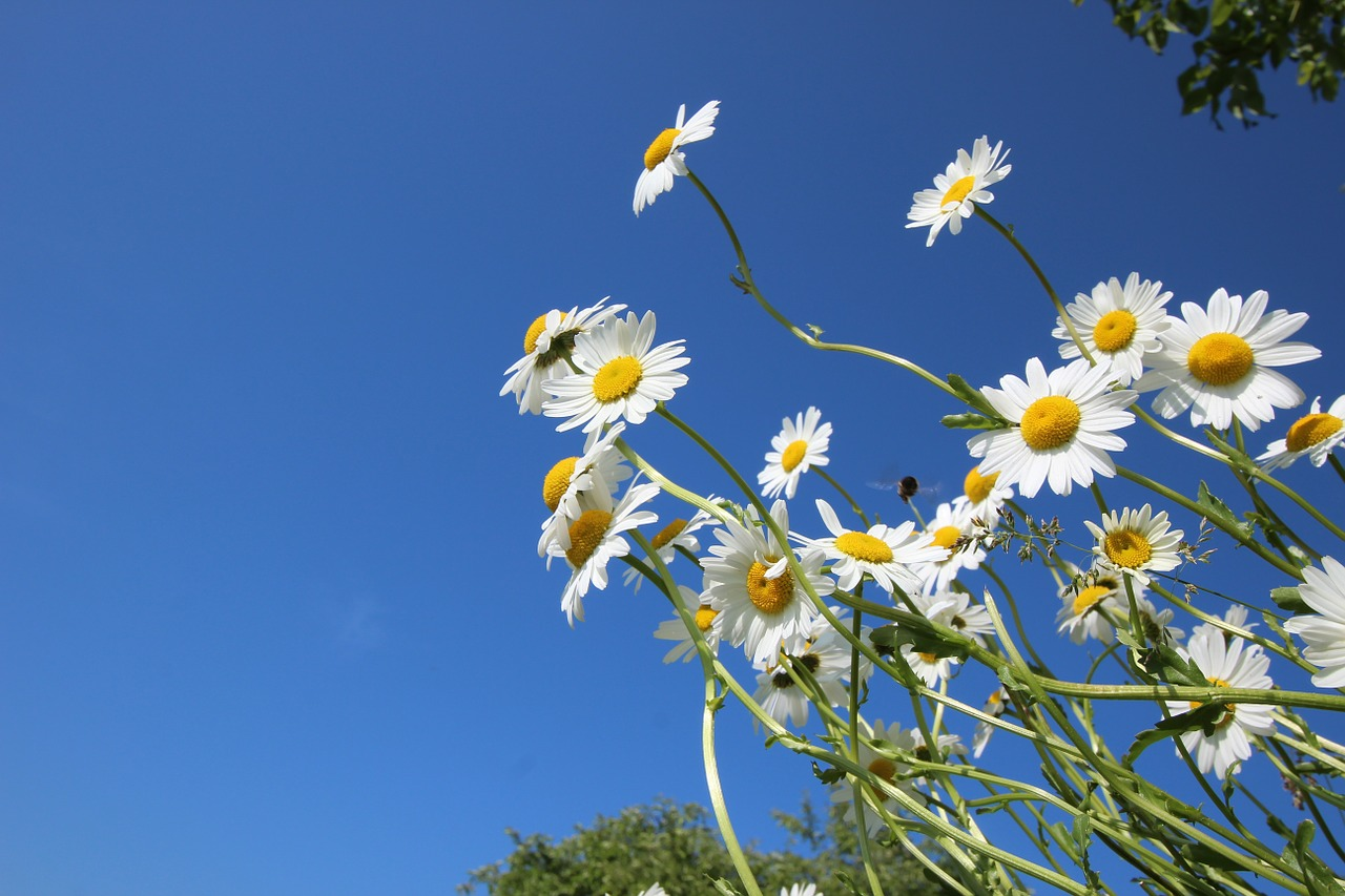 daisies flower spring free picture