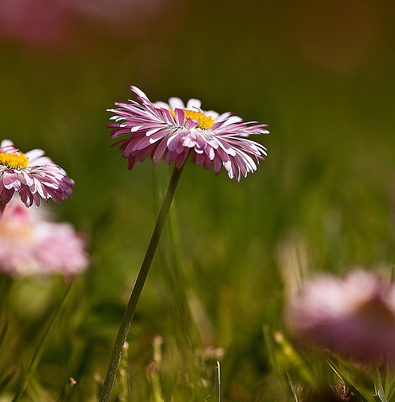 Daisiesflowersflowers Wildflowersgarden Flowersgarden Free