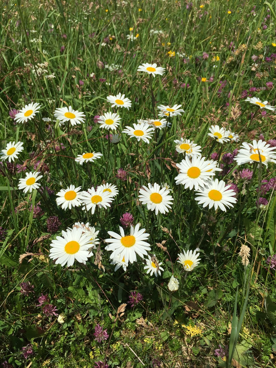 Daisiesflowerswhiteyellowwild Flowers Free Photo From Needpix