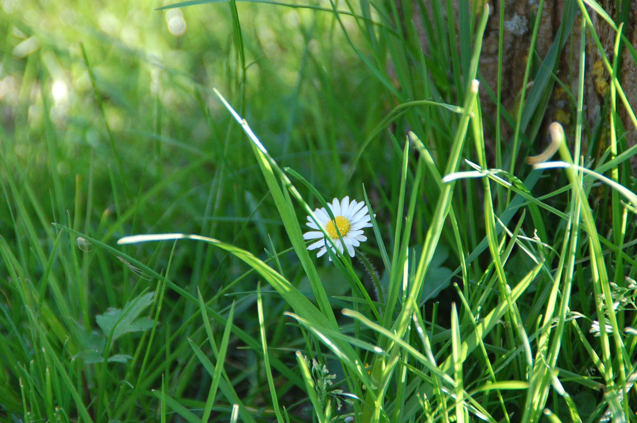 daisy flower nature free photo