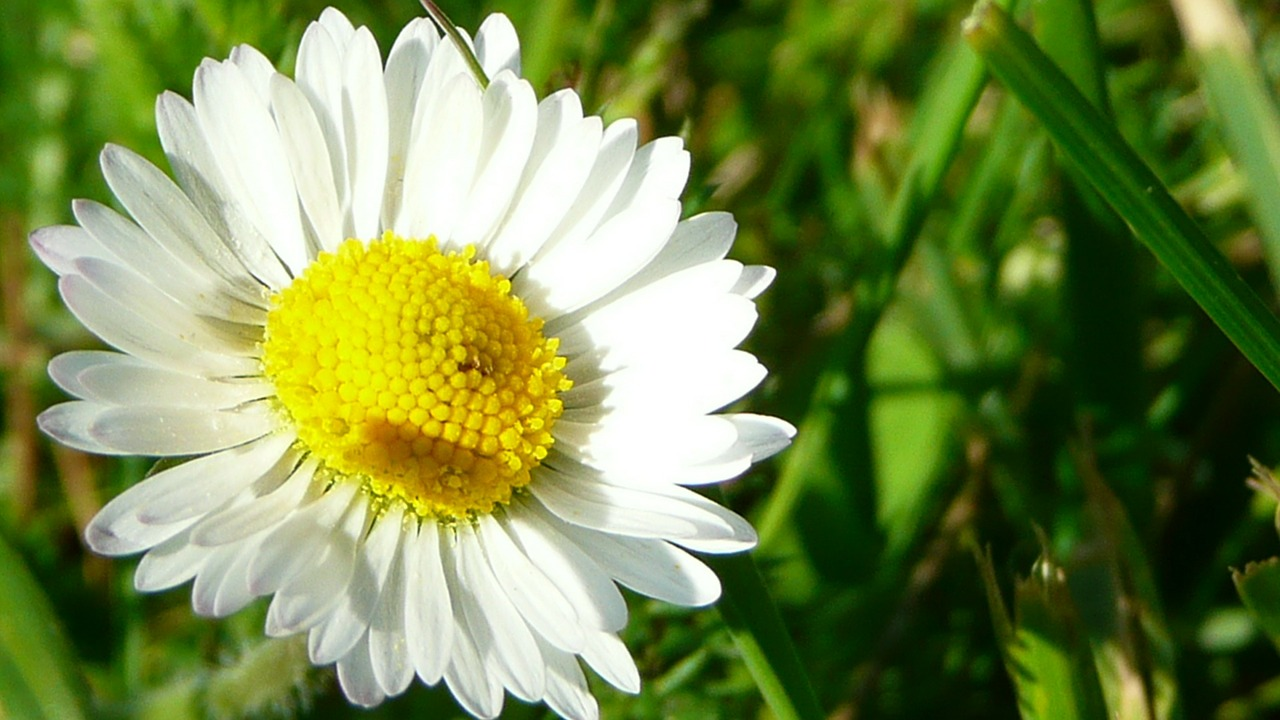 daisy flower white free photo