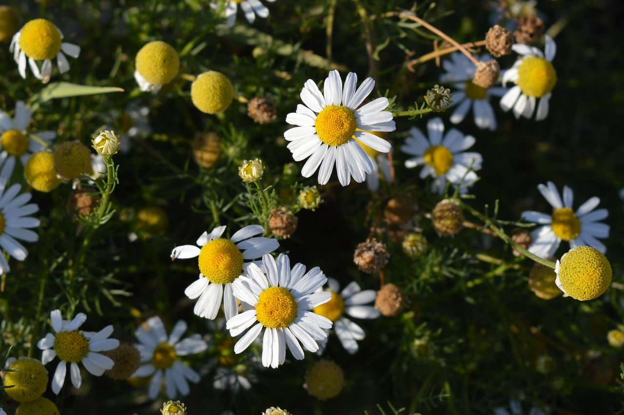 daisy flower pharmaceutical camomile free photo