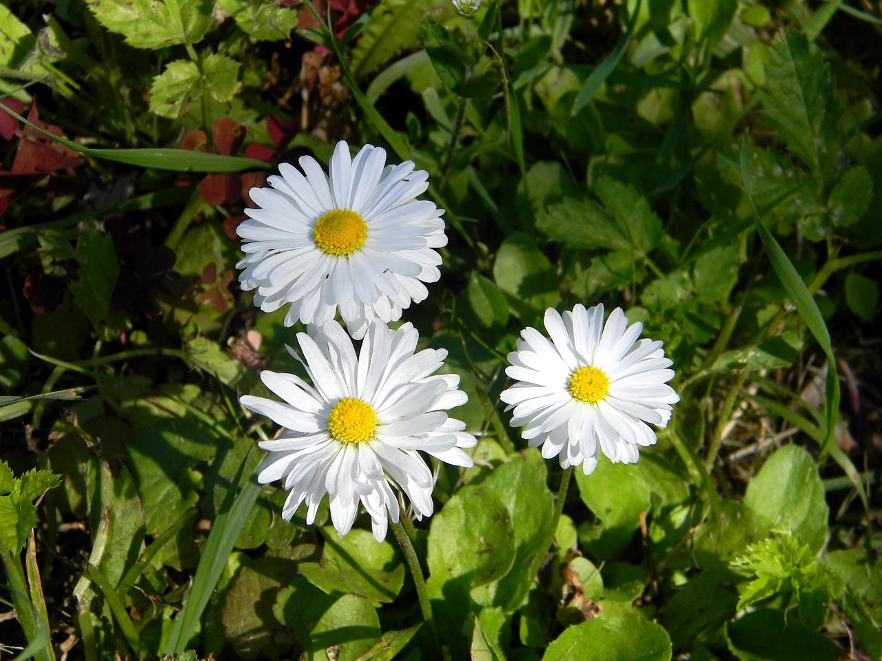 Daisyflowerwhite Flowersfieldchamomile Free Photo From Needpix