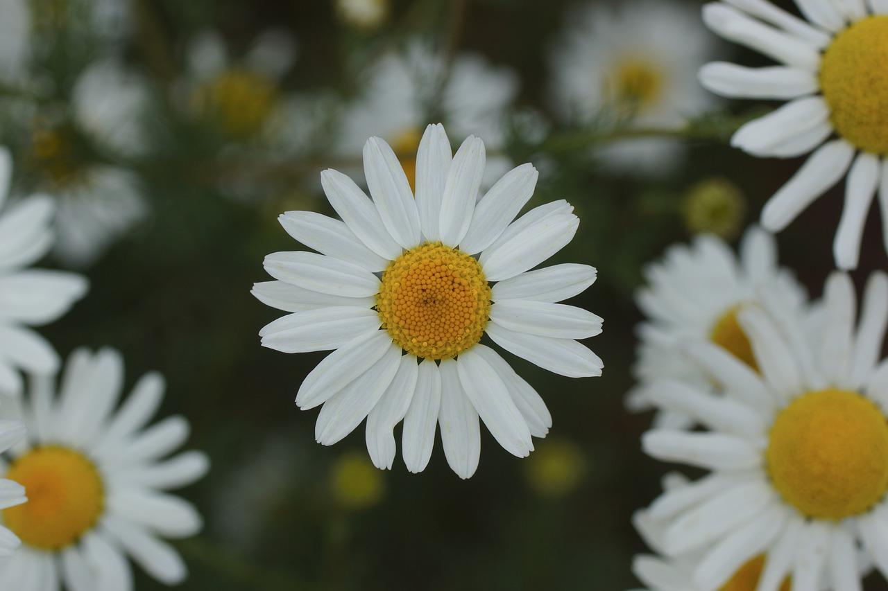 Daisywhiteyellowflowerbloom free photo from needpix daisywhiteyellowflowerbloom izmirmasajfo