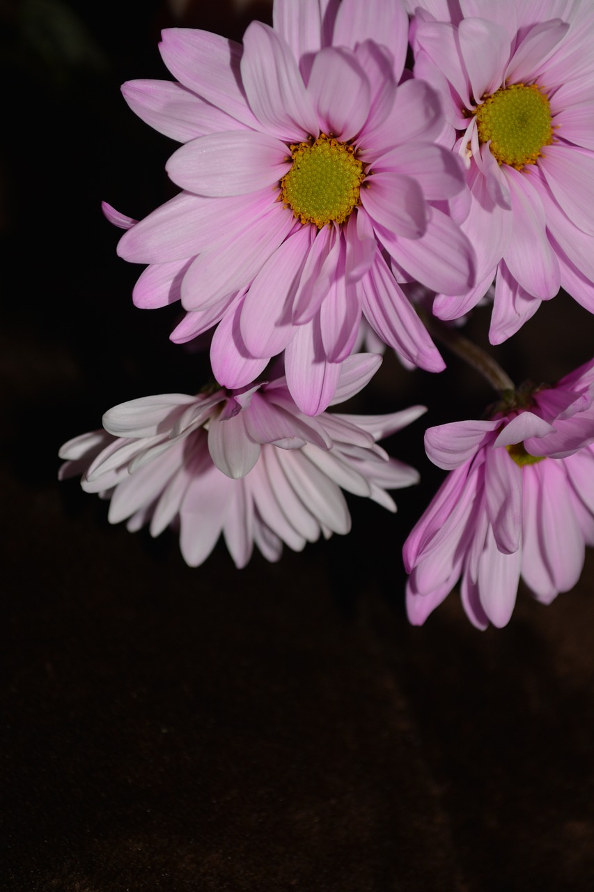 daisy colorful petals free photo