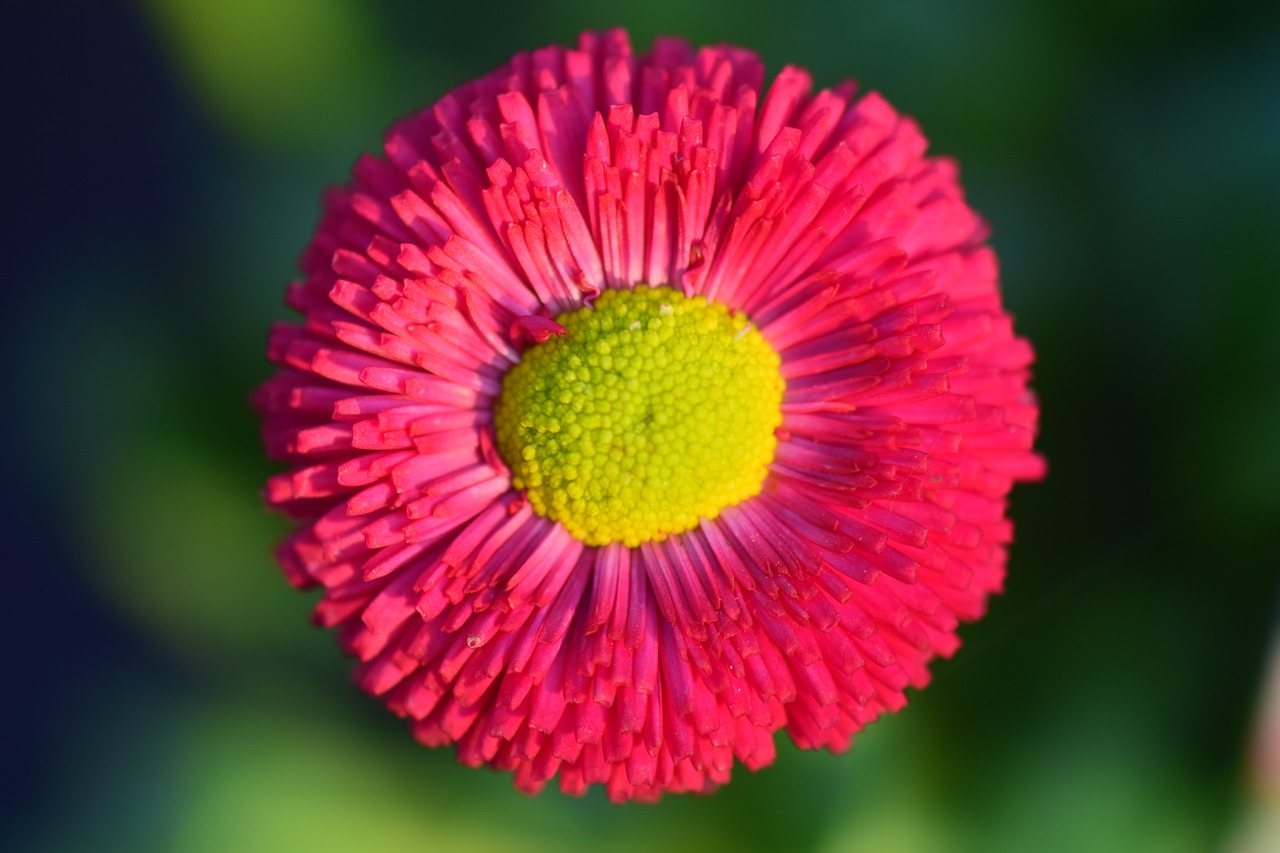 daisy red flower free photo