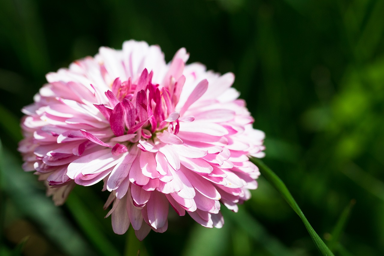 Daisyspringpink Flowerthe Petalsmeadow Free Photo From Needpix