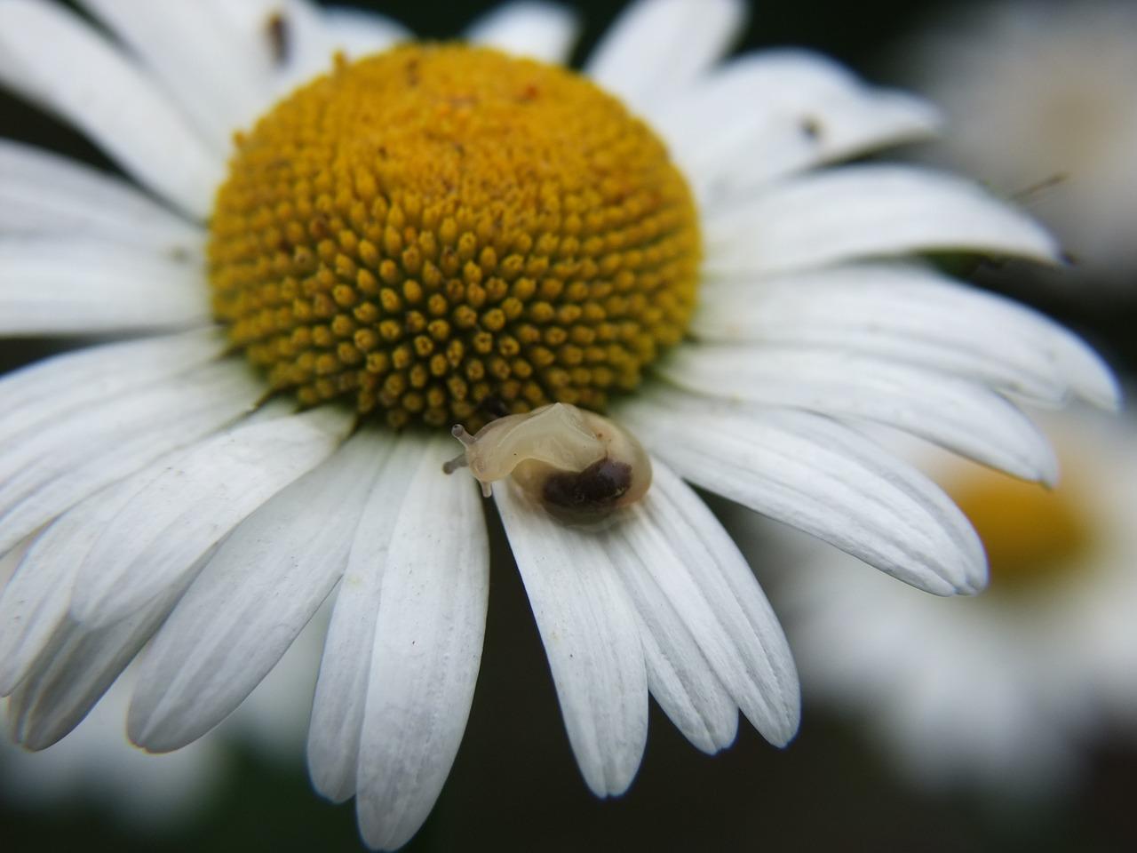 Daisysnaildancing free photo from needpix daisy snail dancing izmirmasajfo