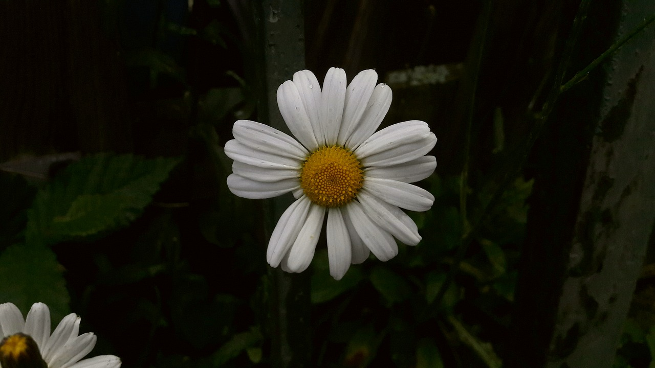 Daisywhiteyellowvitgulflower free photo from needpix daisywhiteyellowvitgulflowersummermidsummersummer flower izmirmasajfo