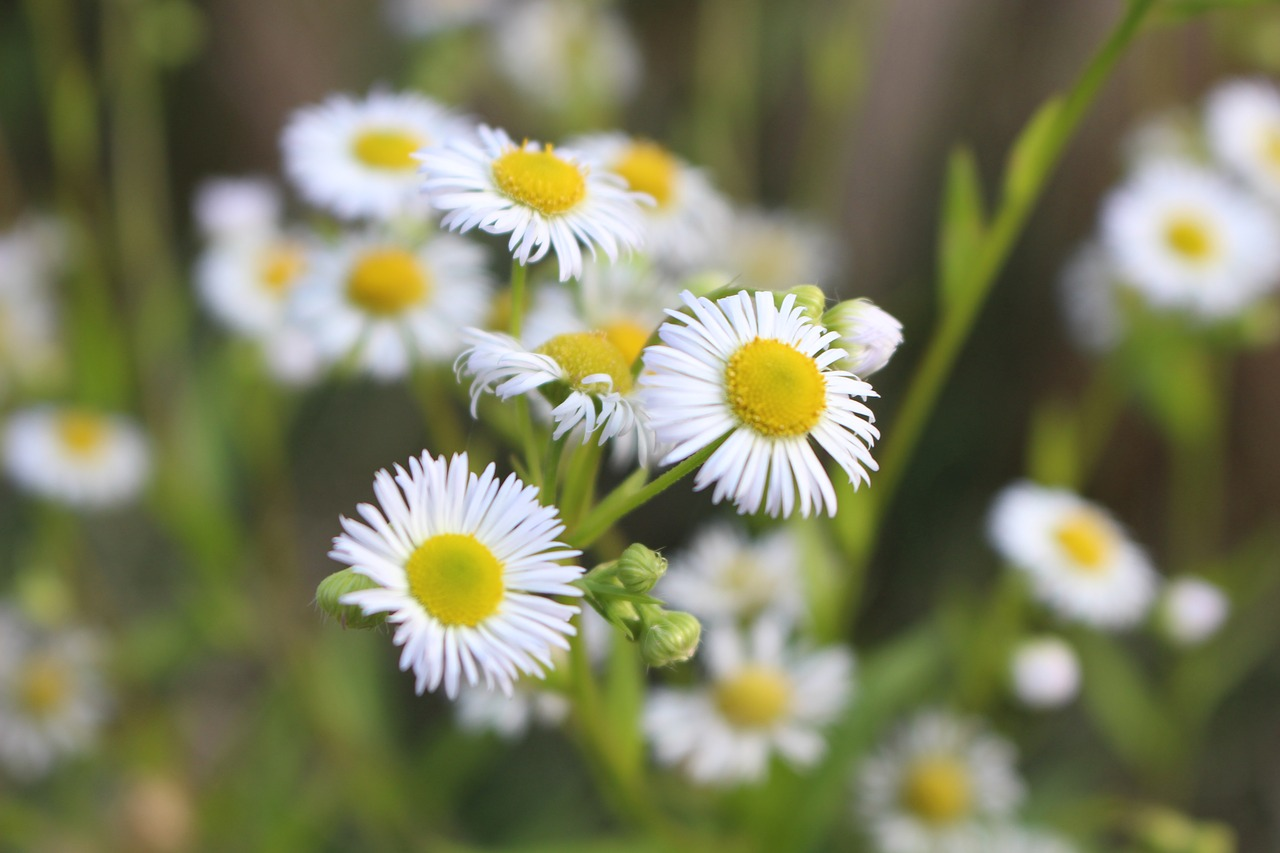 Daisyflowerpetalsnatureplant Free Photo From Needpix