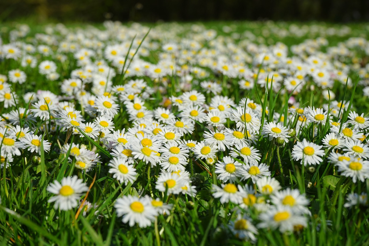 daisy flower carpet white free photo