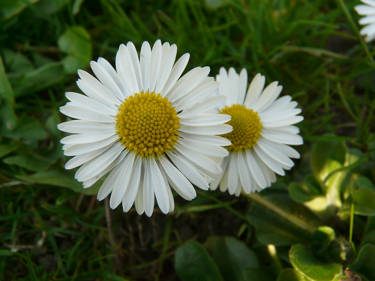 daisy plant garden free photo