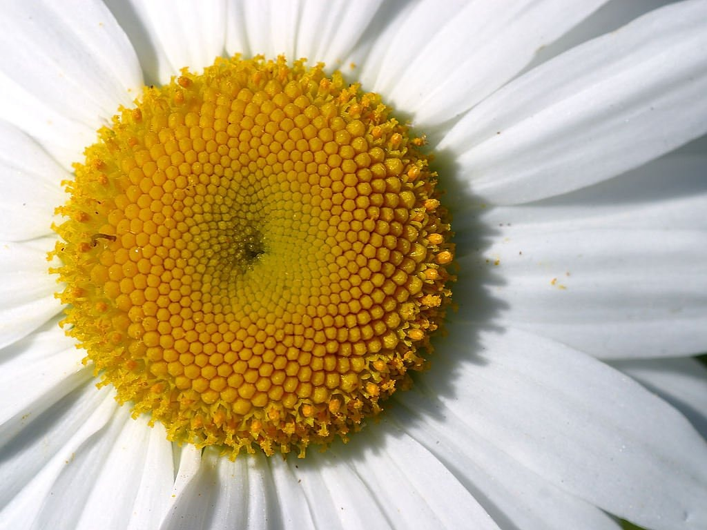 daisy close macro free picture