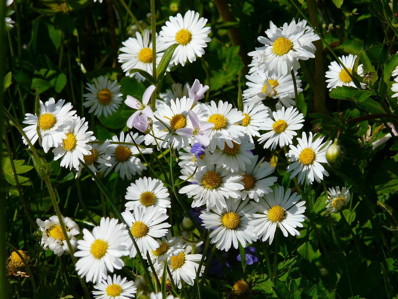 daisy meadow wildflowers free photo
