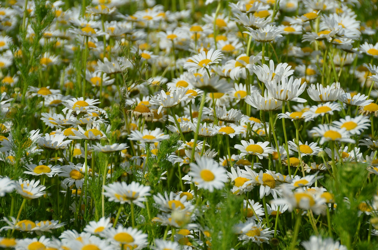 daisy meadow spring free photo