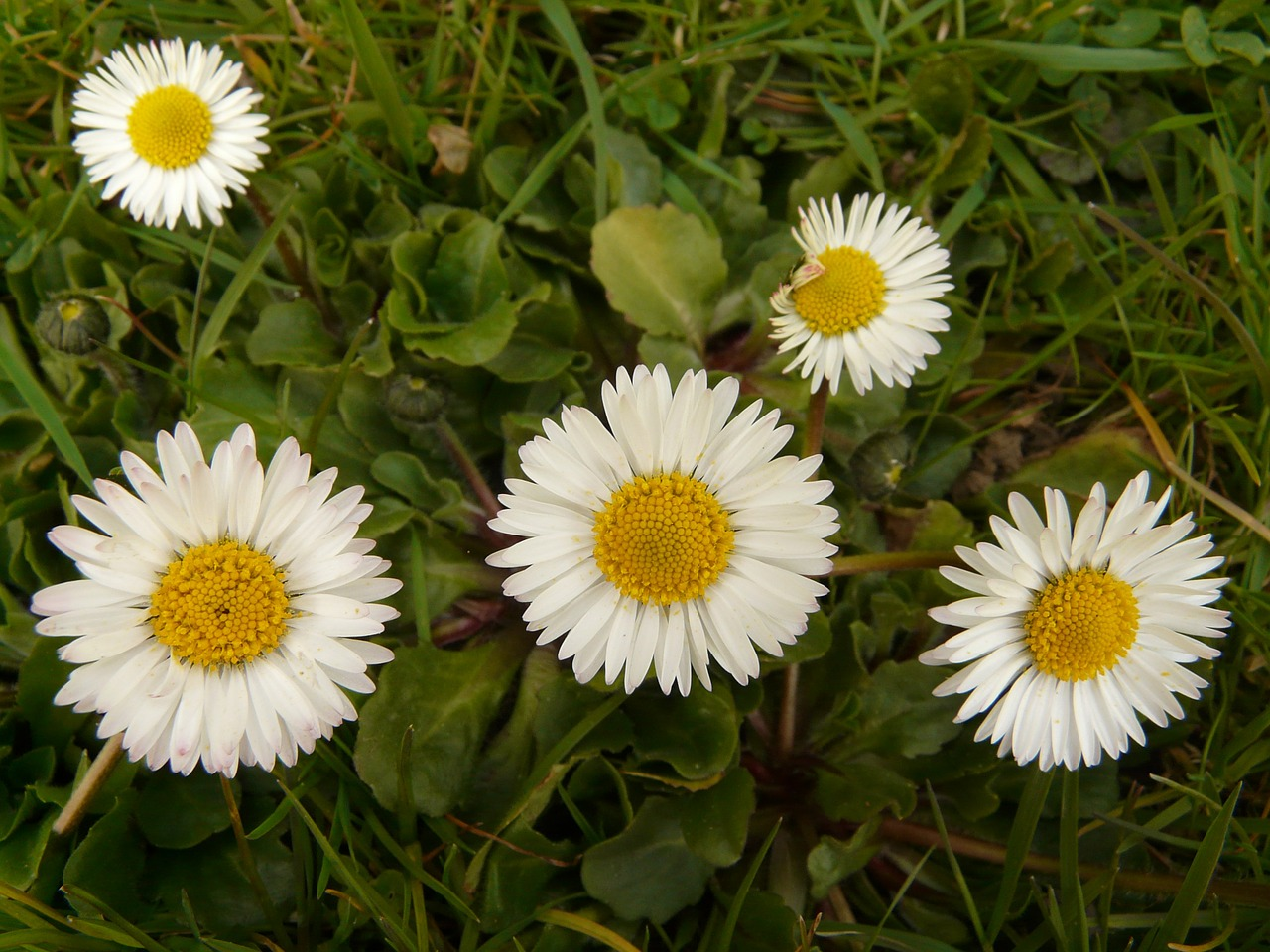 daisy flower plant free photo