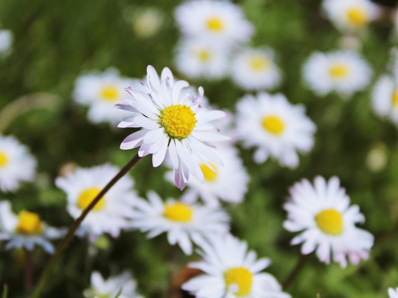 Daisymeadowflowerswhitespring free photo from needpix daisymeadowflowerswhitespringnaturewildflowersgreen mightylinksfo