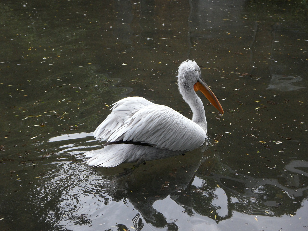 dalmatian pelican pelikan swim free photo