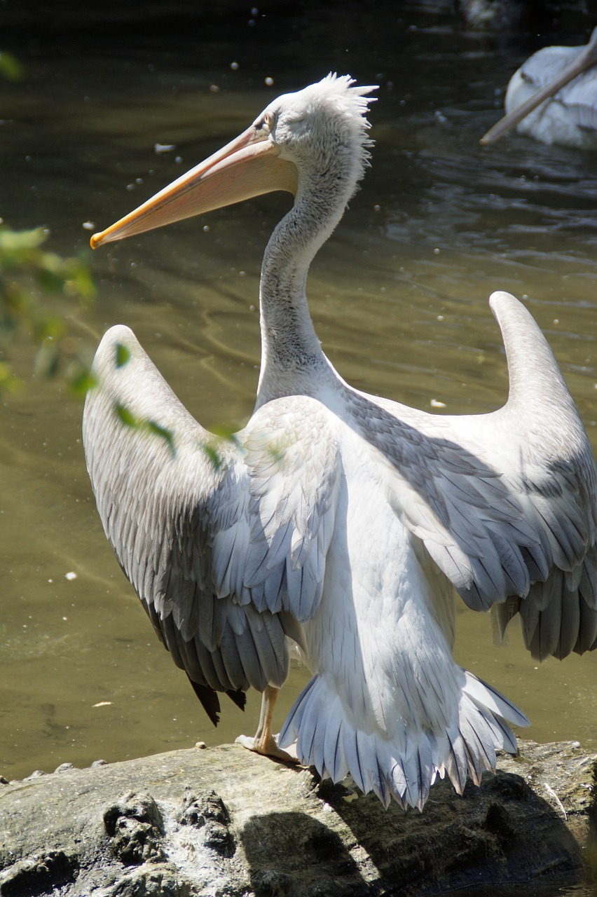 dalmatian pelican pelikan move free photo