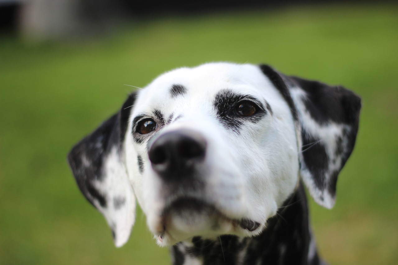 dalmatians dog animal free photo
