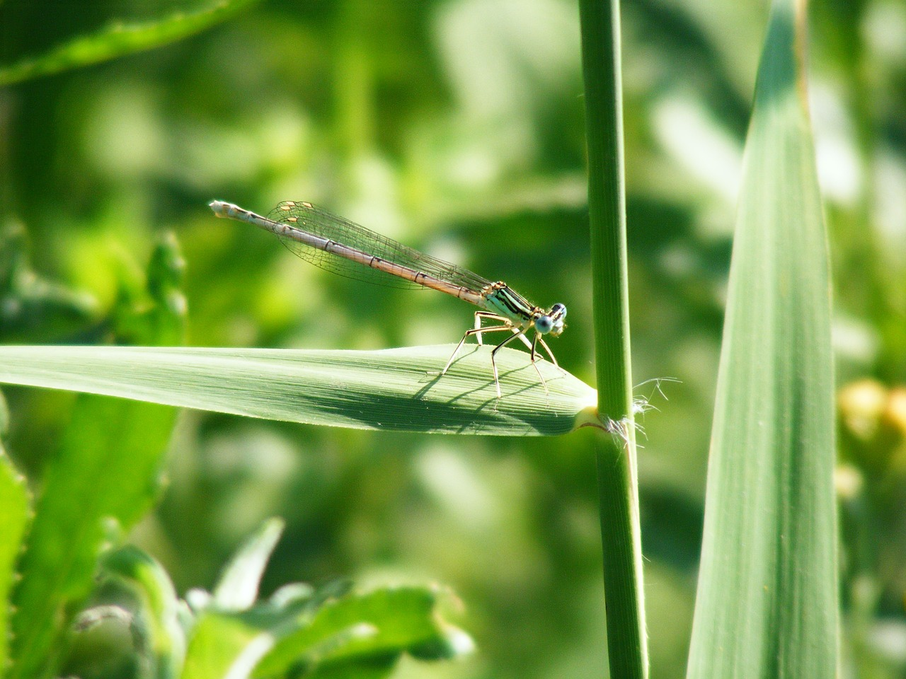 damsel fly green insect free photo