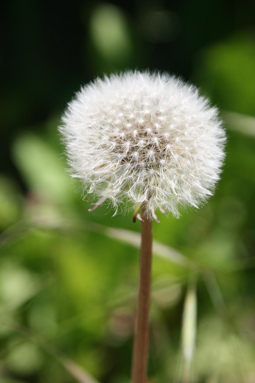 Dandelionflowerwhitenaturespring free photo from needpix dandelion flower white mightylinksfo