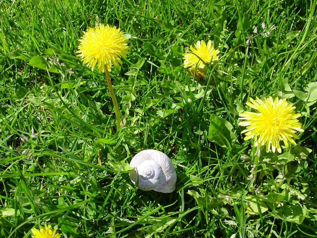 dandelion snail meadow free photo