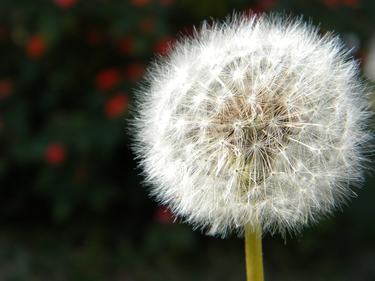 dandelion nature seeds free photo
