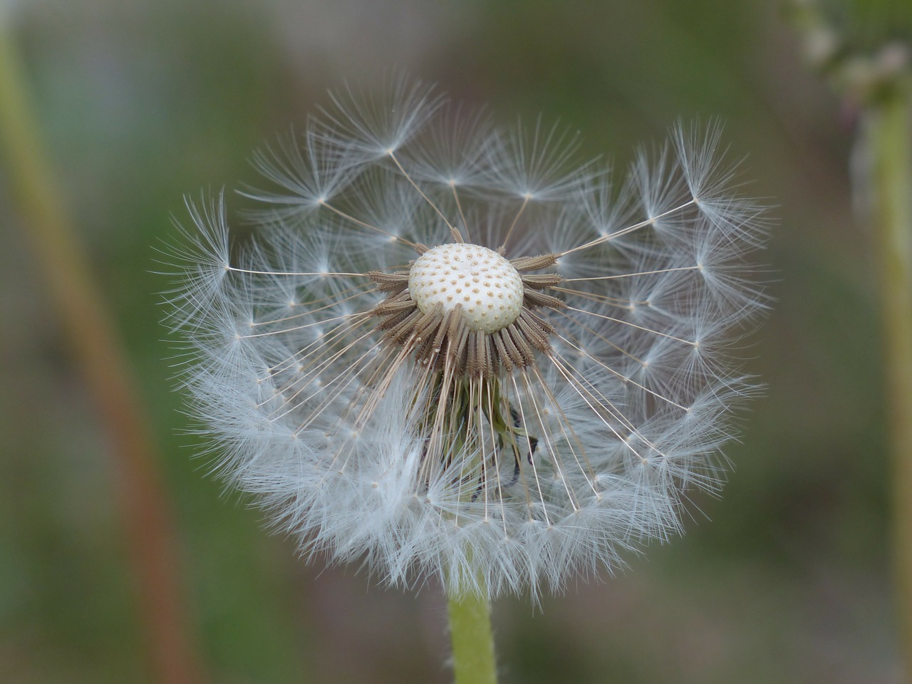 dandelion seeds common dandelion free photo