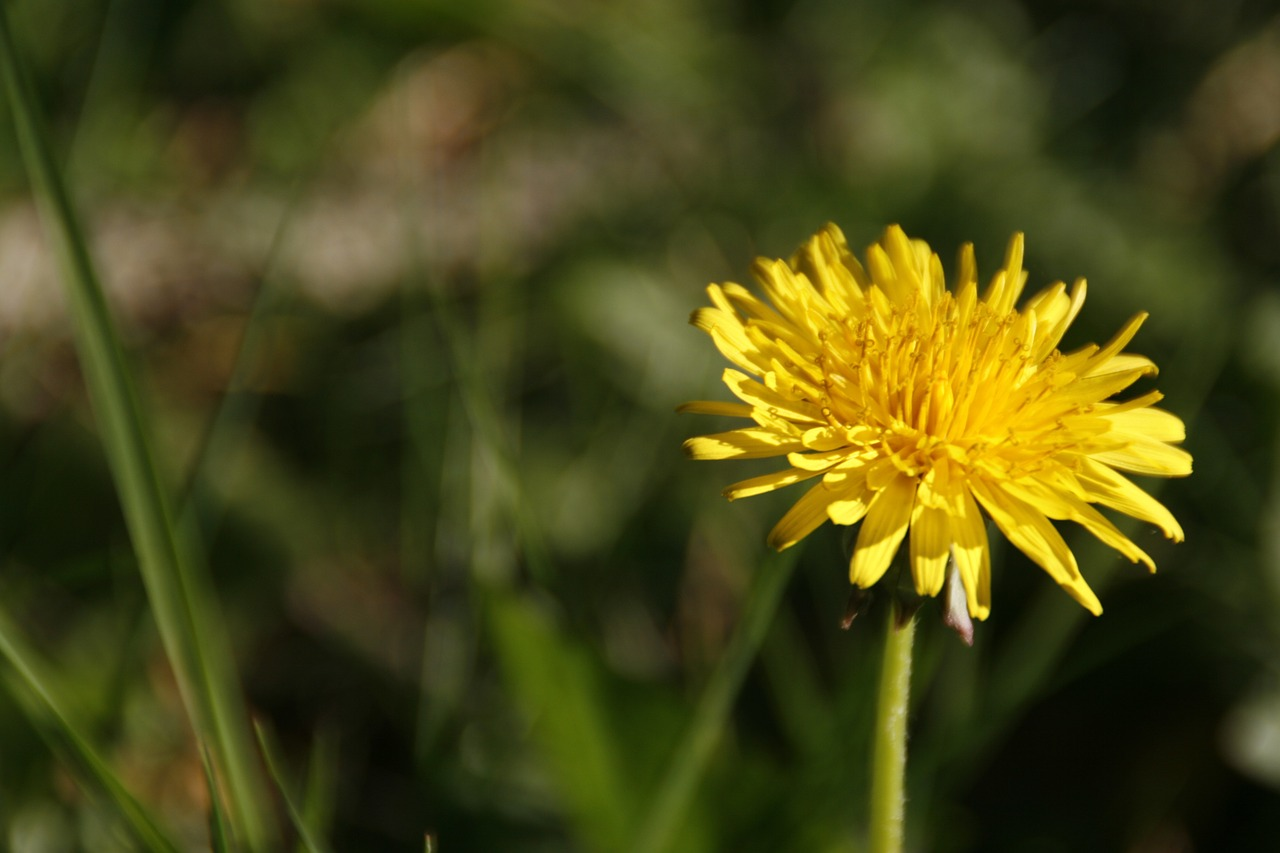 Dandelionweedfloweryellowflora Free Photo From Needpix