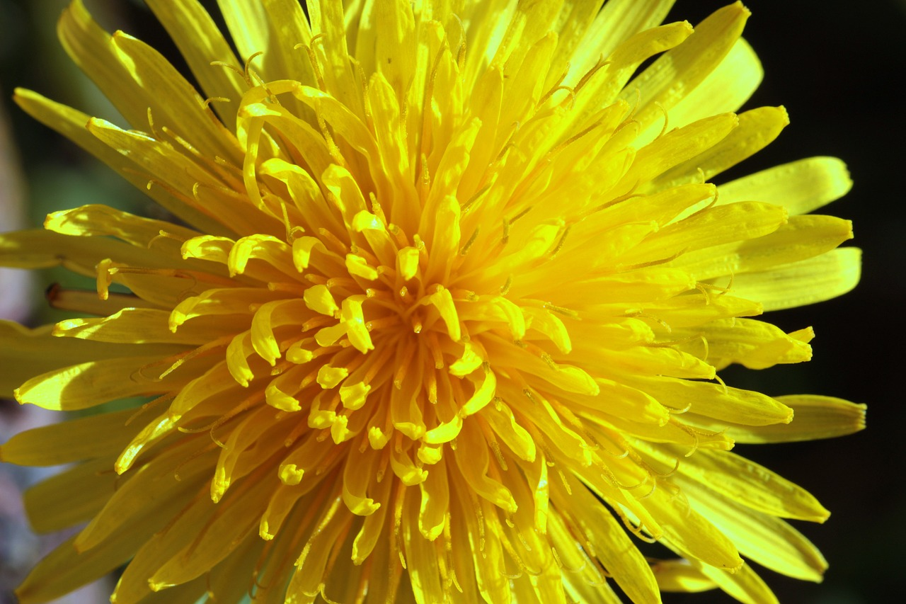 dandelion common dandelion taraxacum sect free photo