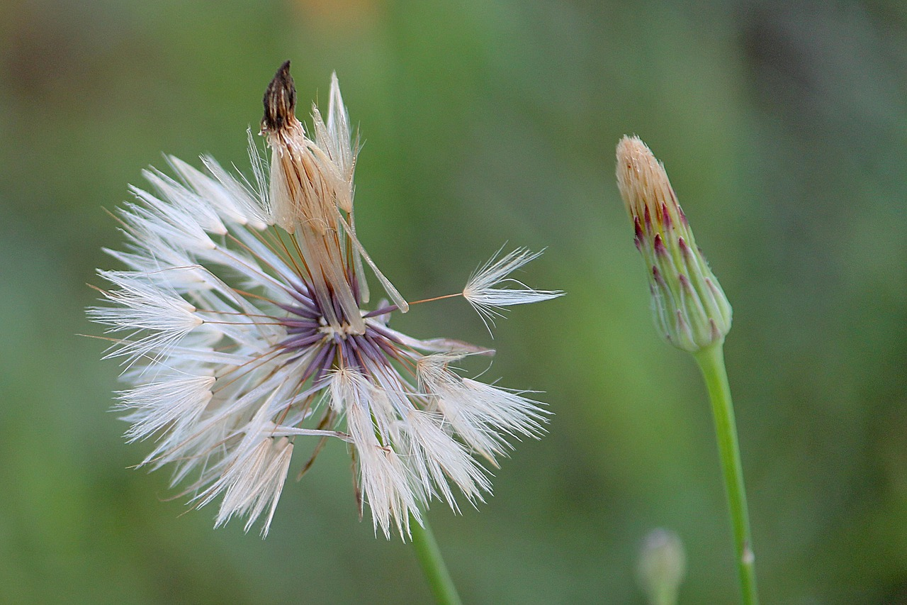 dandelion,seeds,meadow,composites,free pictures, free photos, free images, royalty free, free illustrations, public domain
