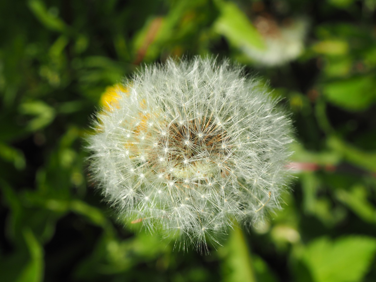 dandelion,flower,close,nature,meadow,pointed flower,seeds,faded,free pictures, free photos, free images, royalty free, free illustrations, public domain