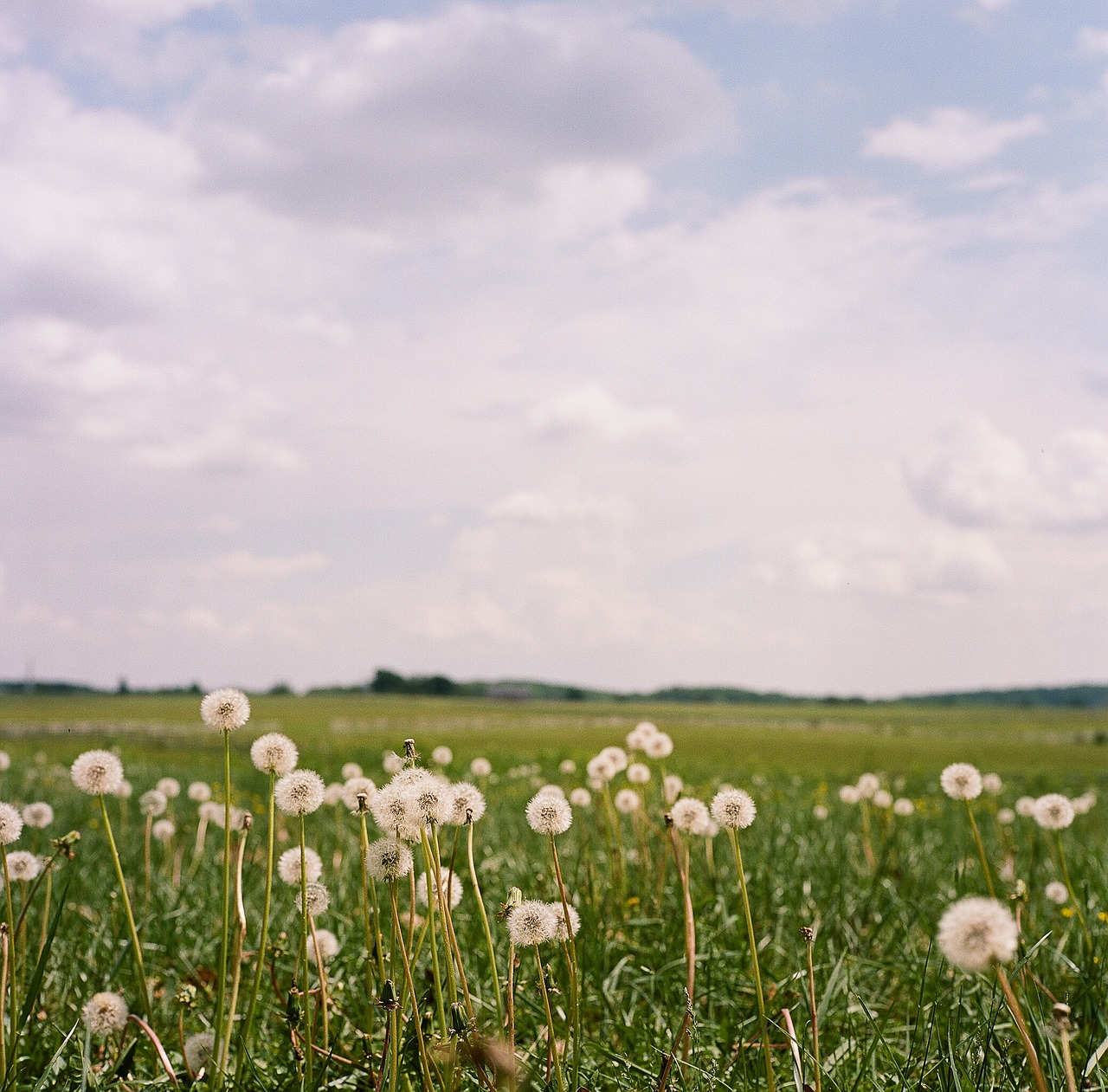 dandelion,fields,gettysburg,pa,pennsylvania,flower,grass,meadow,nature,country,blossom,countryside,landscape,rural,plant,flora,free pictures, free photos, free images, royalty free, free illustrations, public domain