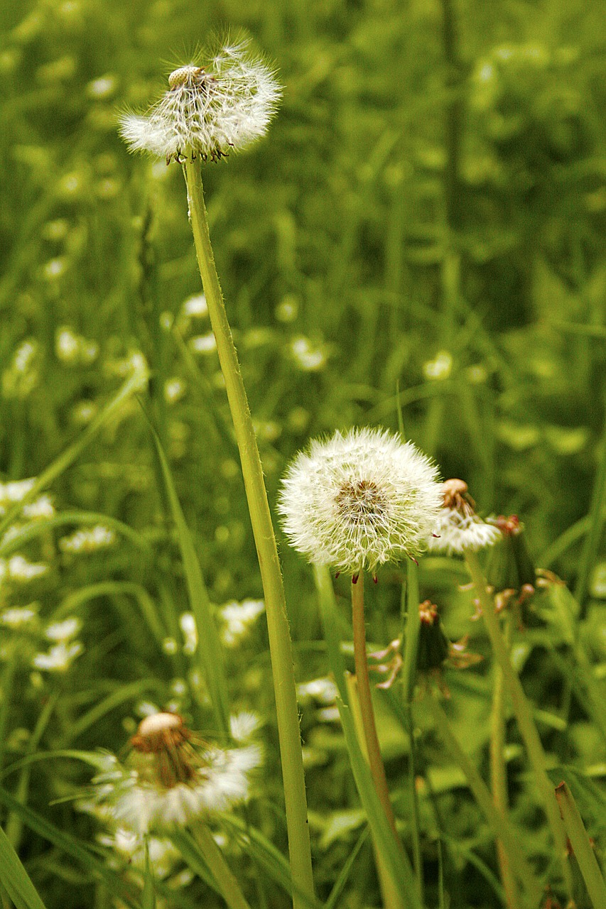 dandelion rabbit food transience free photo
