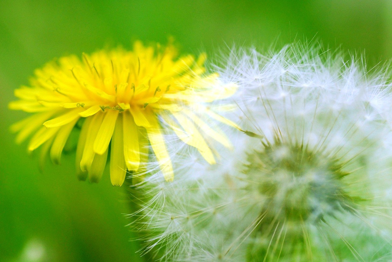 dandelion dandelion fluff fluff before and now free photo